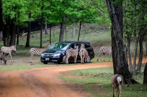 cherokeee-trace-drive-thru-safari